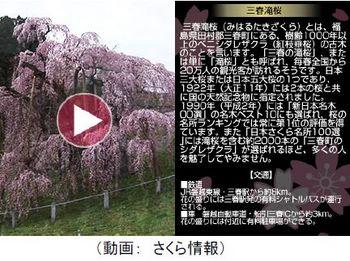 コロムビア・さくら2.jpg